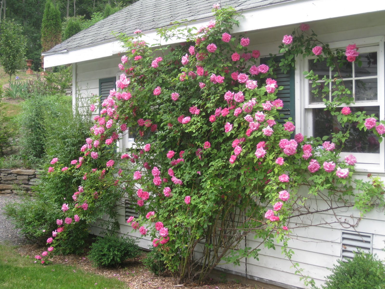 Zephirine Drouhin Climbing Rose my favorite roses – kevin lee jacobs