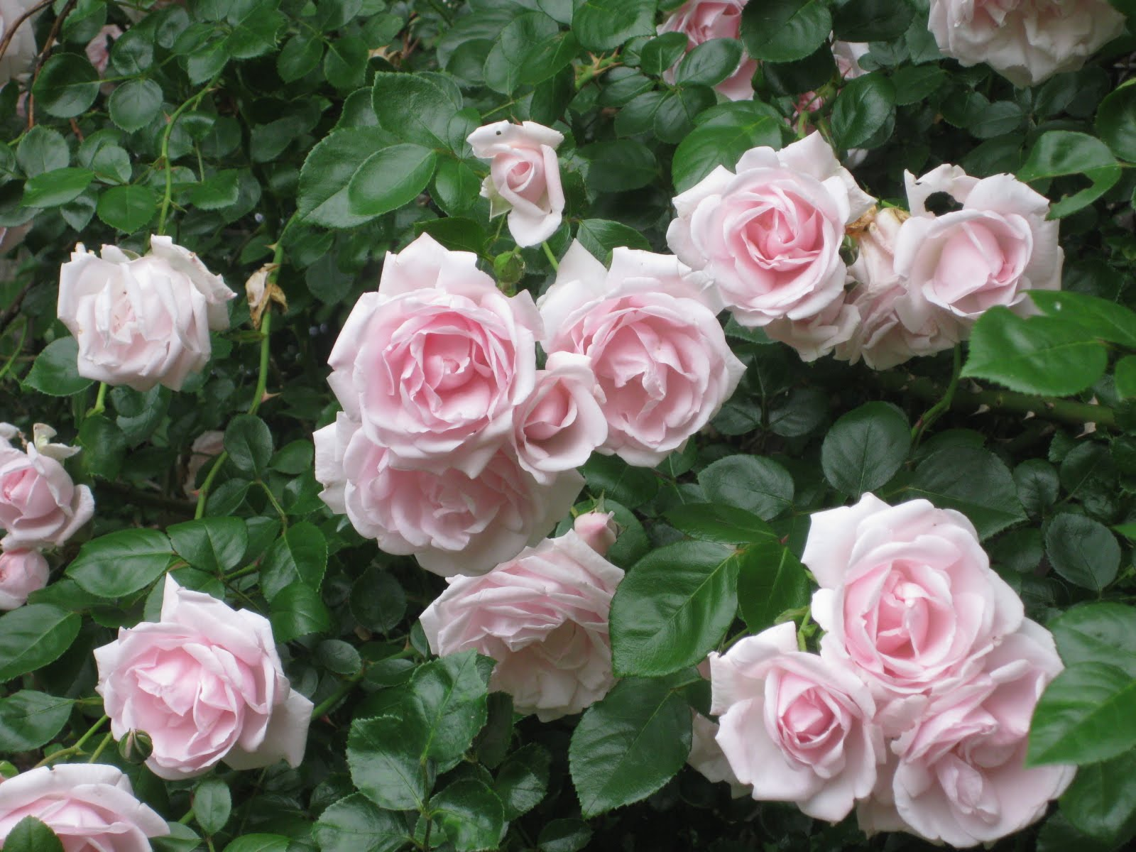 Home Decorating Ideas My Favorite Roses