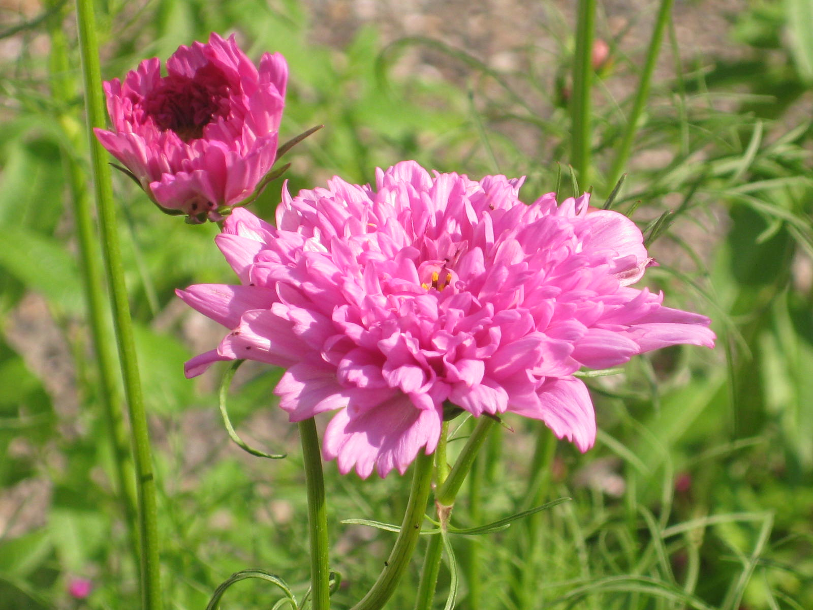 My Trial with Cosmos 'Rose Bon Bon'