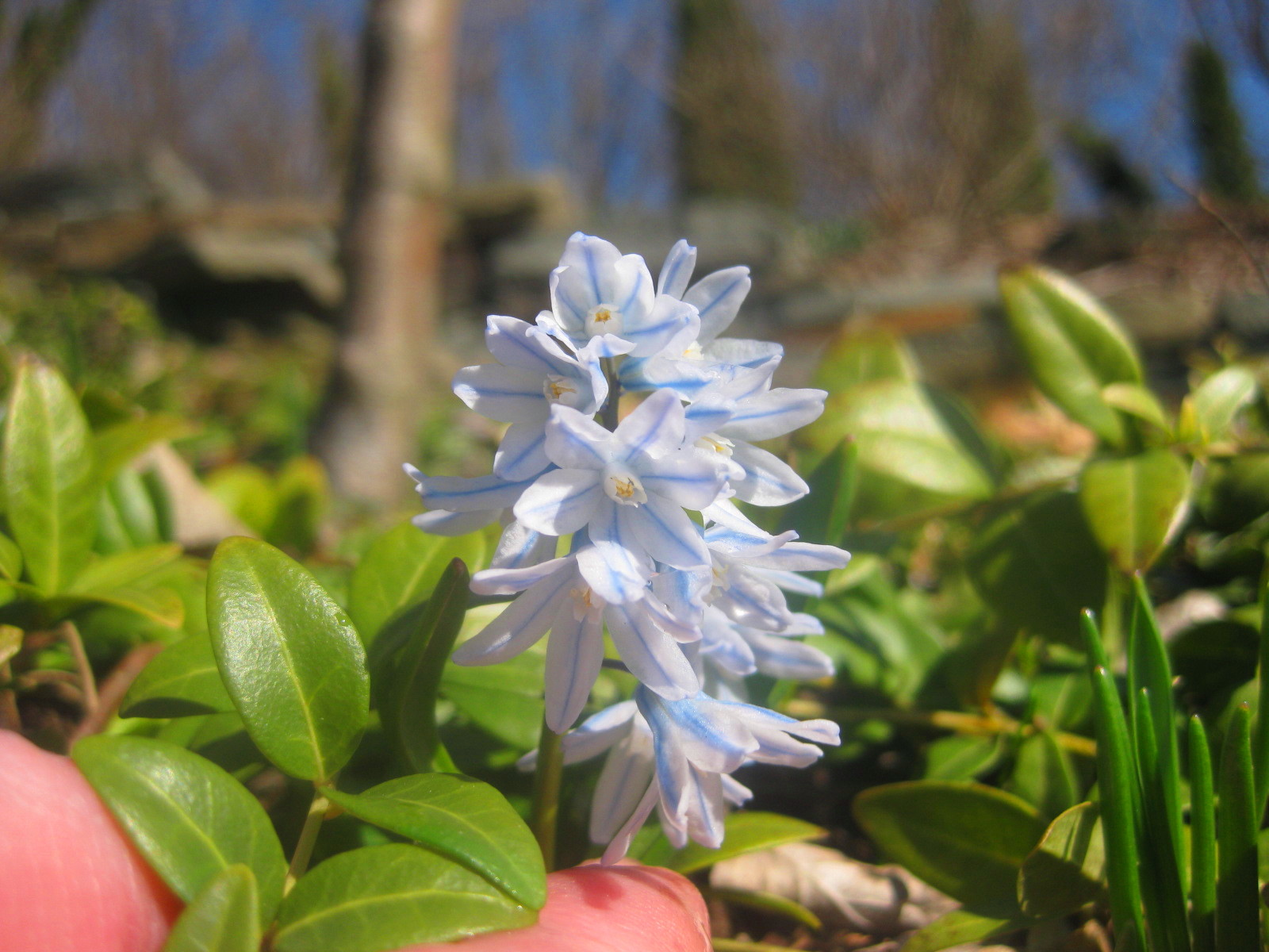 Now in Bloom: Puschkinia scilloides