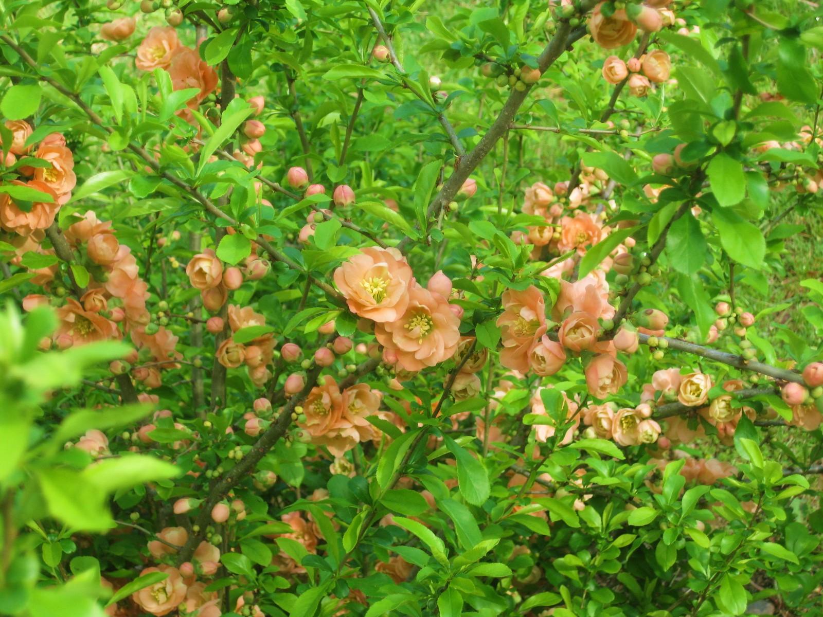 A Peach of a Shrub: Flowering Quince 'Cameo'