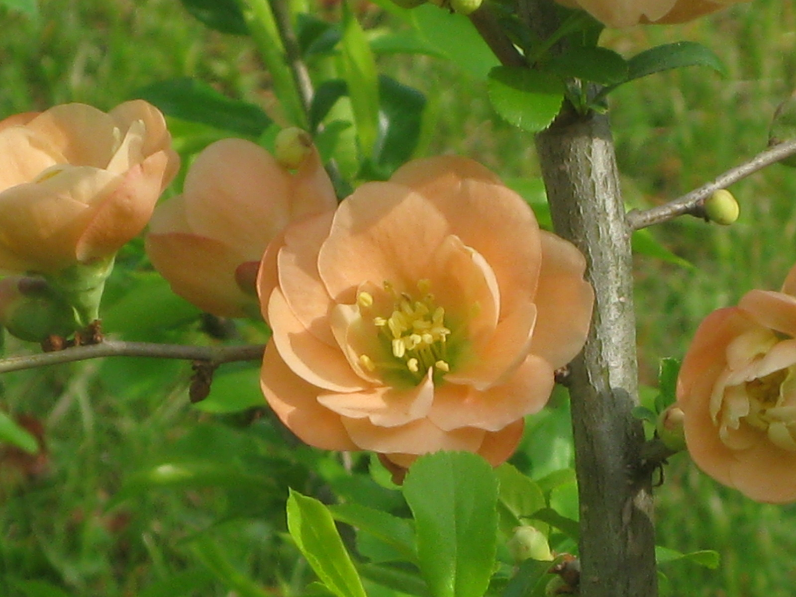 A Peach of a Shrub: Flowering Quince 'Cameo'