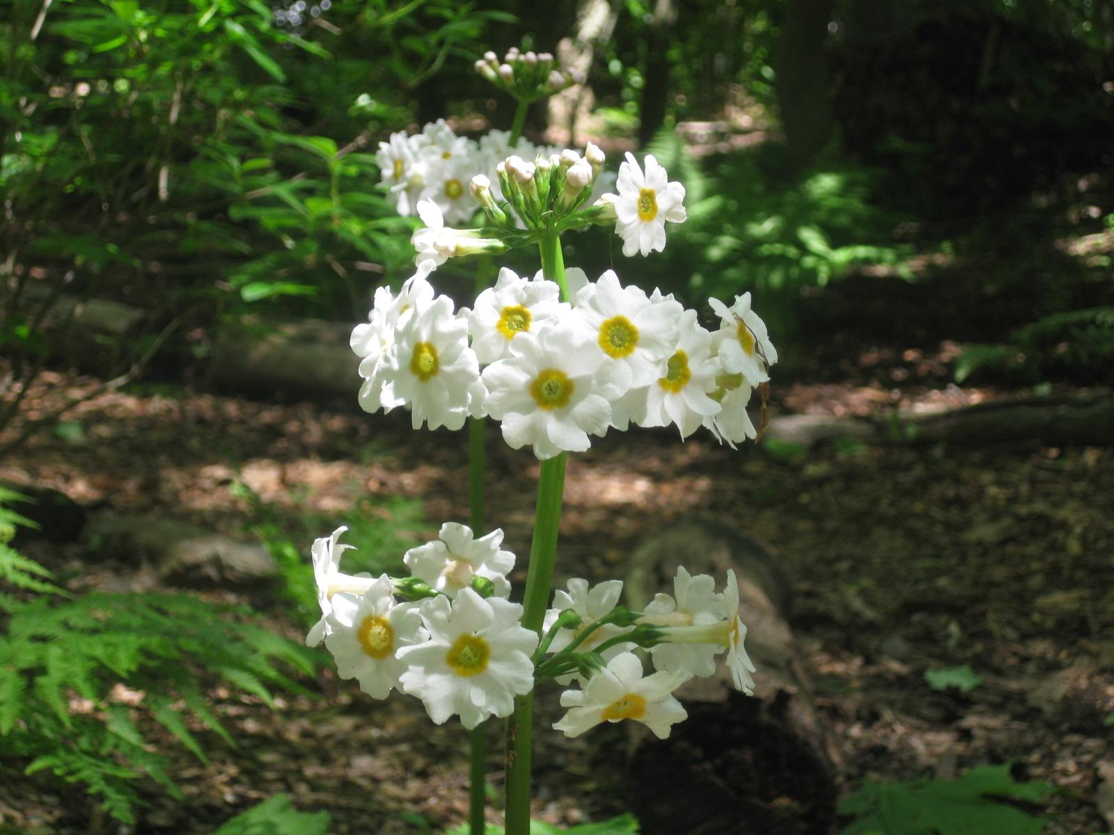 A Sexy Plant: Primula japonica