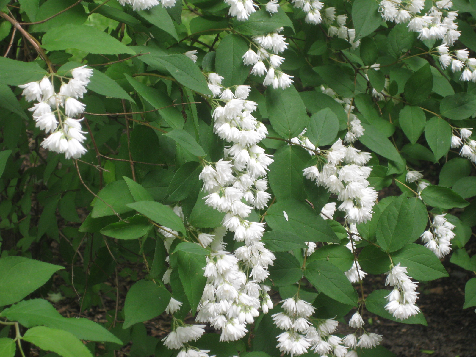 An old fashioned shrub deutzia scabra long before this 1826 house was mine some thoughtful gardener planted four deciduous shrubs in the broad bed outside the parlor now my music room window mightylinksfo
