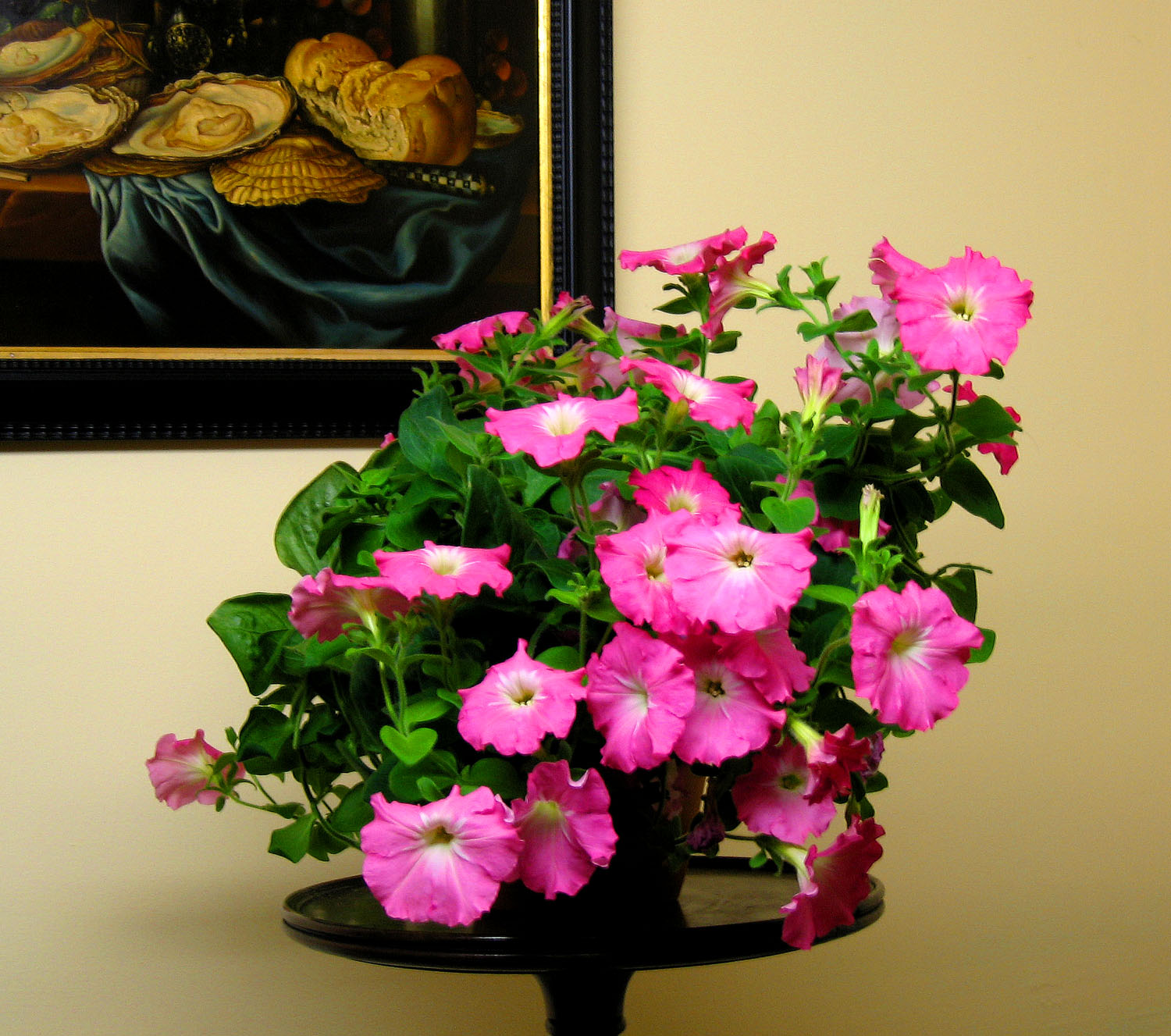 A Petunia for Winter: Opera Supreme 'Pink Morn'