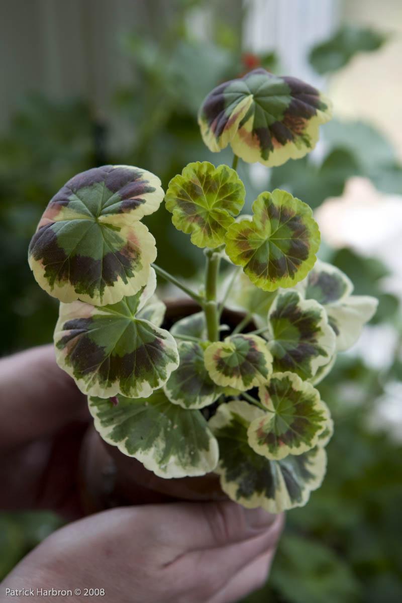 Geraniums Part Two Fancy Leaved Zonals