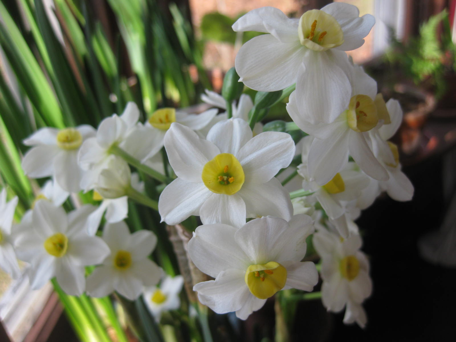 Narcissus 'Winter Sun'