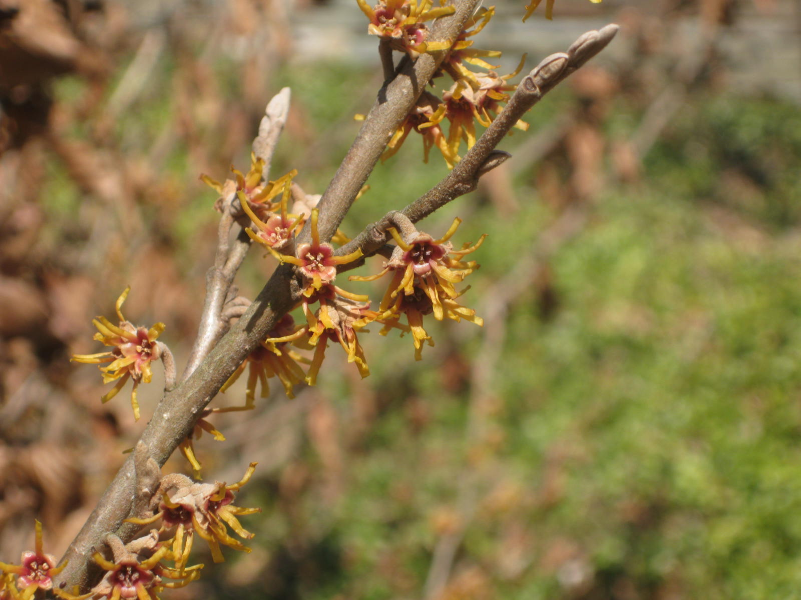 Winter-blooming Witch Hazel