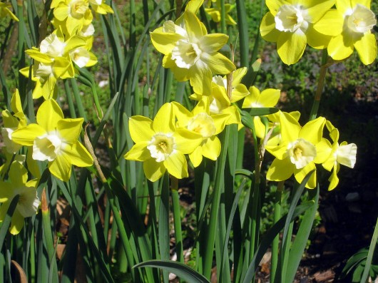 More Interesting Than Food Narcissus >> First Aid For Non Blooming Daffodils