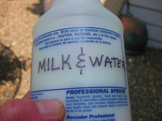 use a solution of milk and water to control blackspot