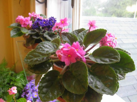 African Violets in my Window Garden