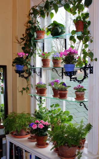 saintpaulia rules the window garden