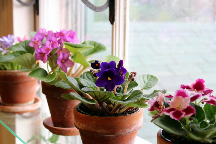 "African Violets: How I Remove and Pot ""Suckers"""