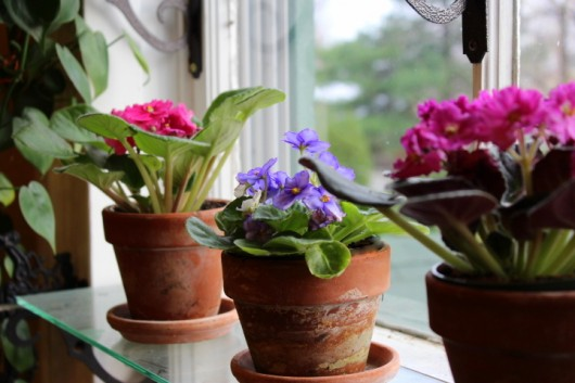 African Violets: provide the right pot
