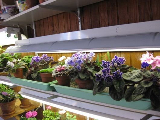 African violets bloom constantly under lights