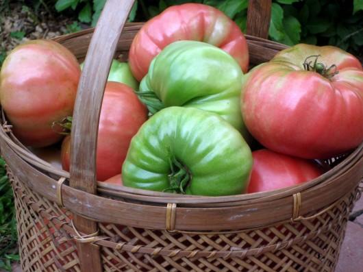 20 Sweet Pepper Seeds IKO IKO Heirloom Vegetable-Rare /& Unusual-Change Colors