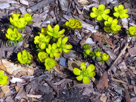 March 2020 Garden Chores (pictured: Winter Aconites near front porch)