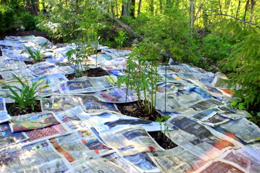 Lay the paper thickly over the weeds, and around and in between the desired plants