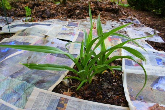 using newspaper to smother weeds
