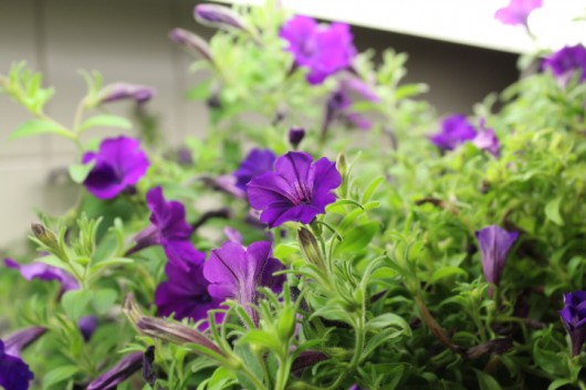 Propagate Petunias for Winter Bloom -- plants under lights on my kitchen counter