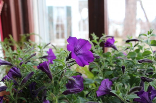 Propagate Petunias for Winter Bloom -- so fragrant!