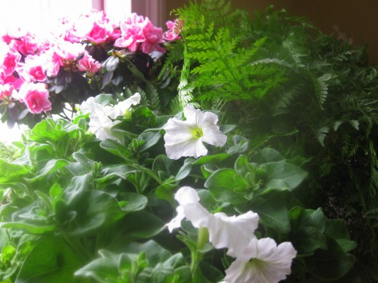 Propagate Petunias for Winter Bloom -- white petunia
