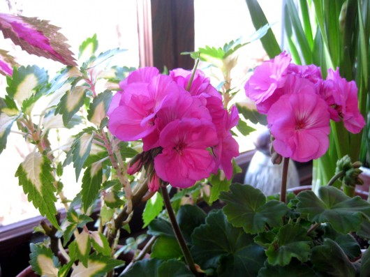 How I Prepare Geraniums for Winter-Bloom - Kevin Lee Jacobs