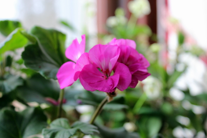 How I Prepare Geraniums for Winter-Bloom