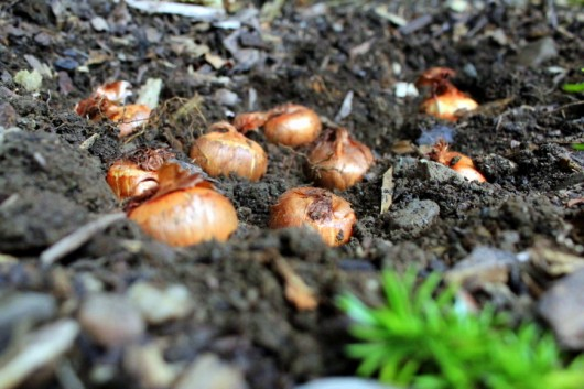 How to protect bulbs from squirrels kevin lee jacobs - How to keep squirrels from digging in garden ...