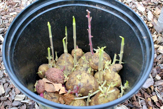 Planting Potatoes That Have Sprouted