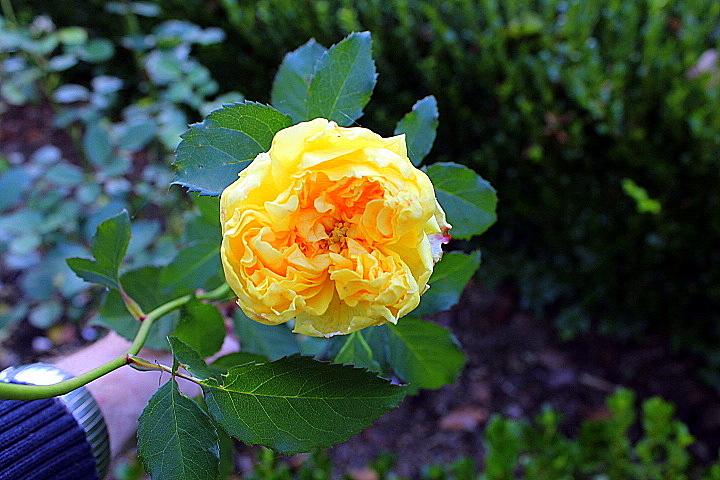 Yard Work: Leaf-Mulching the Rose Beds