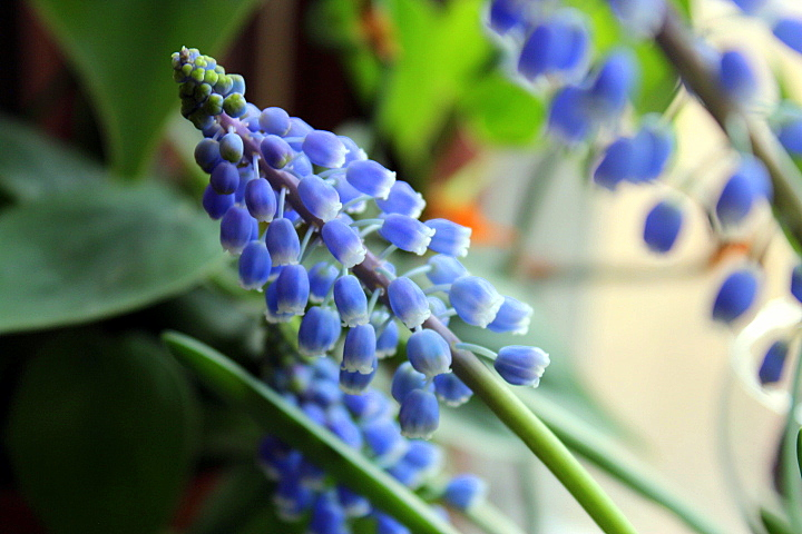 Now in Bloom: Grape Hyacinth (Muscari)