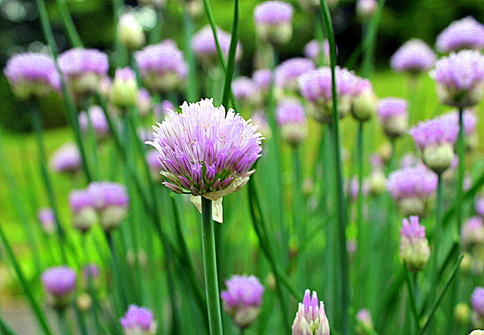 Chive Blossom Vinegar: Updated for 2015