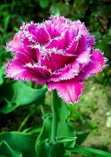 tulip fringed mascotte