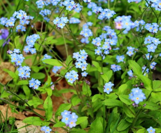 forget me nots may 14 2016 picassa