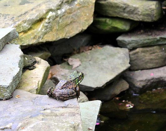 frog at pond may 14 2016 picassa