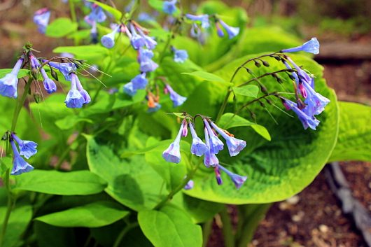 virginia bluebells may 12 2014 picassa