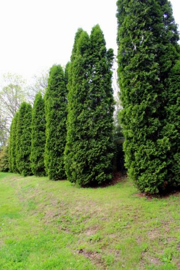 wall of arborvitae picassa