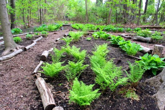 woodland fern bed may 14 2016 picassa