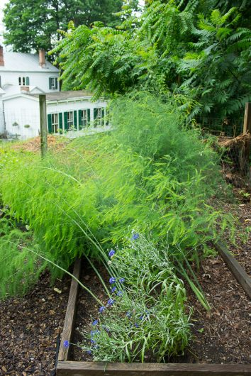 kitchen garden asparagus bed 7-08-16 jpg