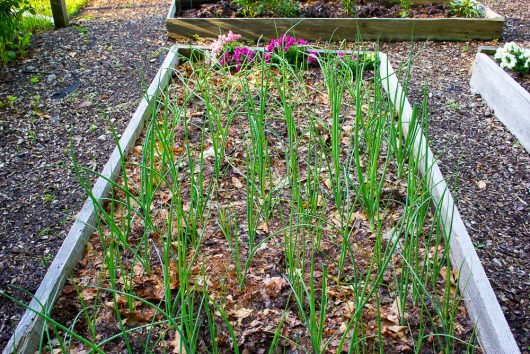 kitchen garden onion bed 7-12-16 jpg
