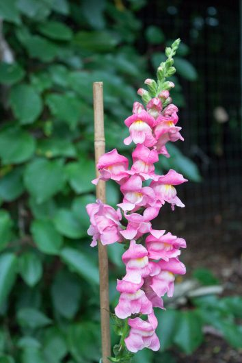 kitchen garden snapdragon pink 7-08-16 jpg