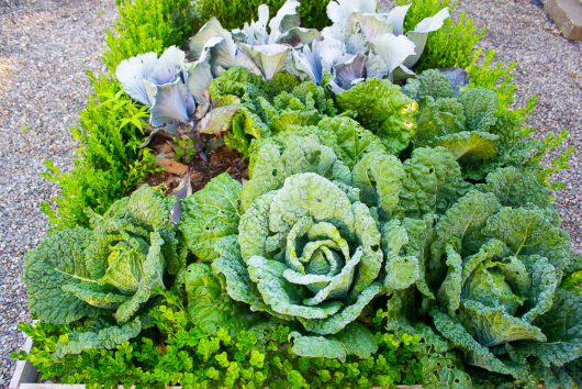herb garden cabbage 8-08-16