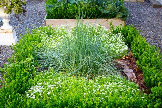 herb garden chives, alyssum 8-08-16