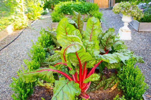 herb garden swiss chard, boxwood 8-08-16