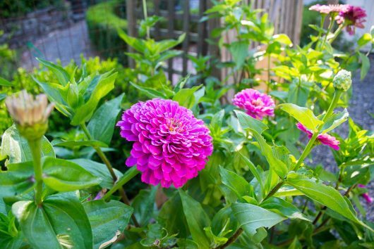 herb garden zinnias along fence 8-08-16