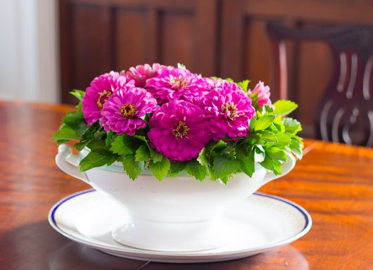 zinnias and pachy on dining table 8-14-16