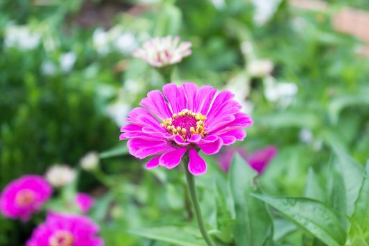 zinnias and pachy select zinnias 8-14-16
