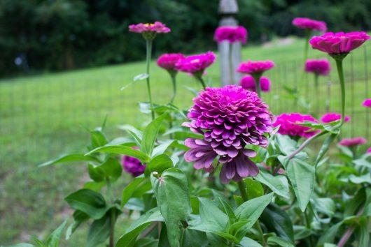 zinnias in herb garden 8-21-16