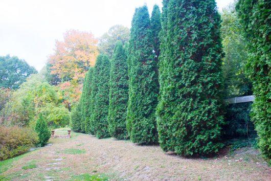 garden-tour-arborvitae-10-17-16